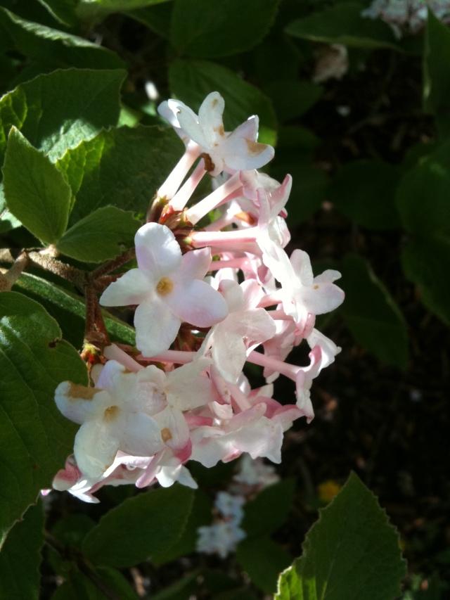 fragrant-bushes-009