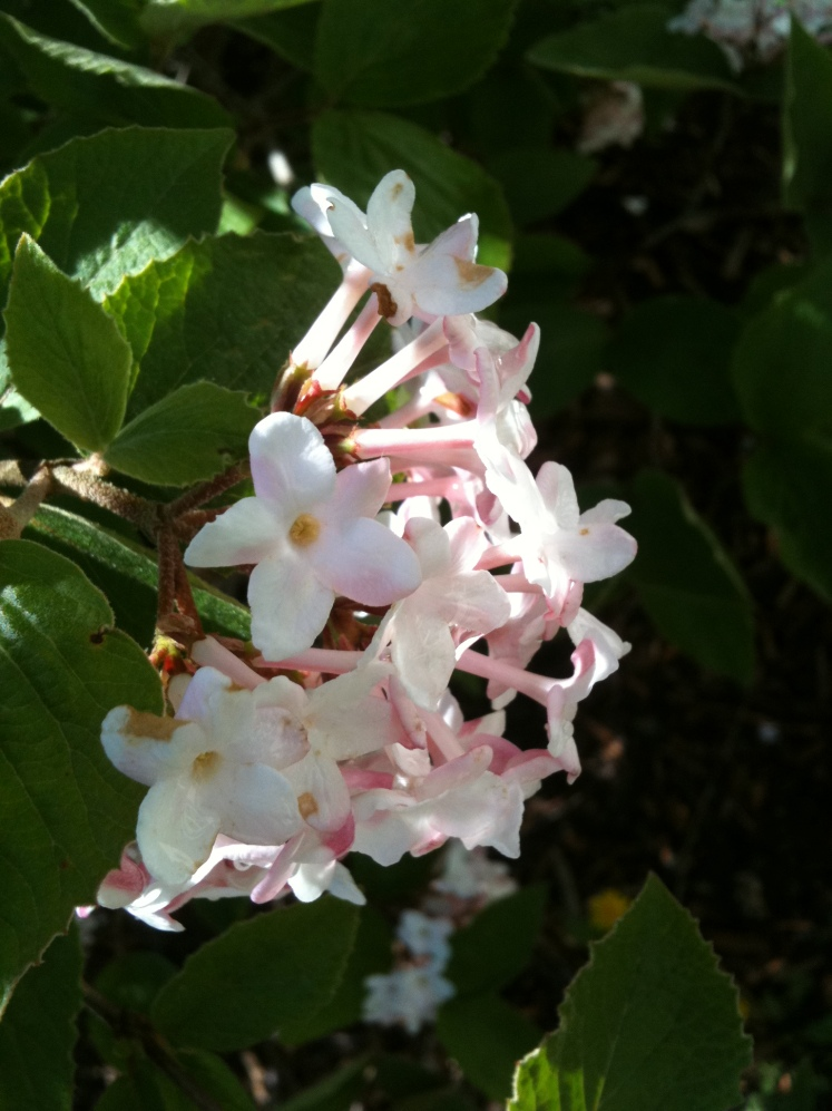 fragrant-bushes-009