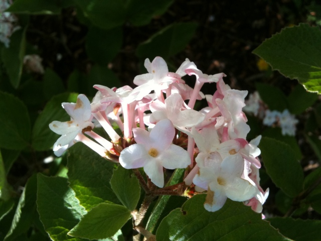 Fragrant Bushes 009