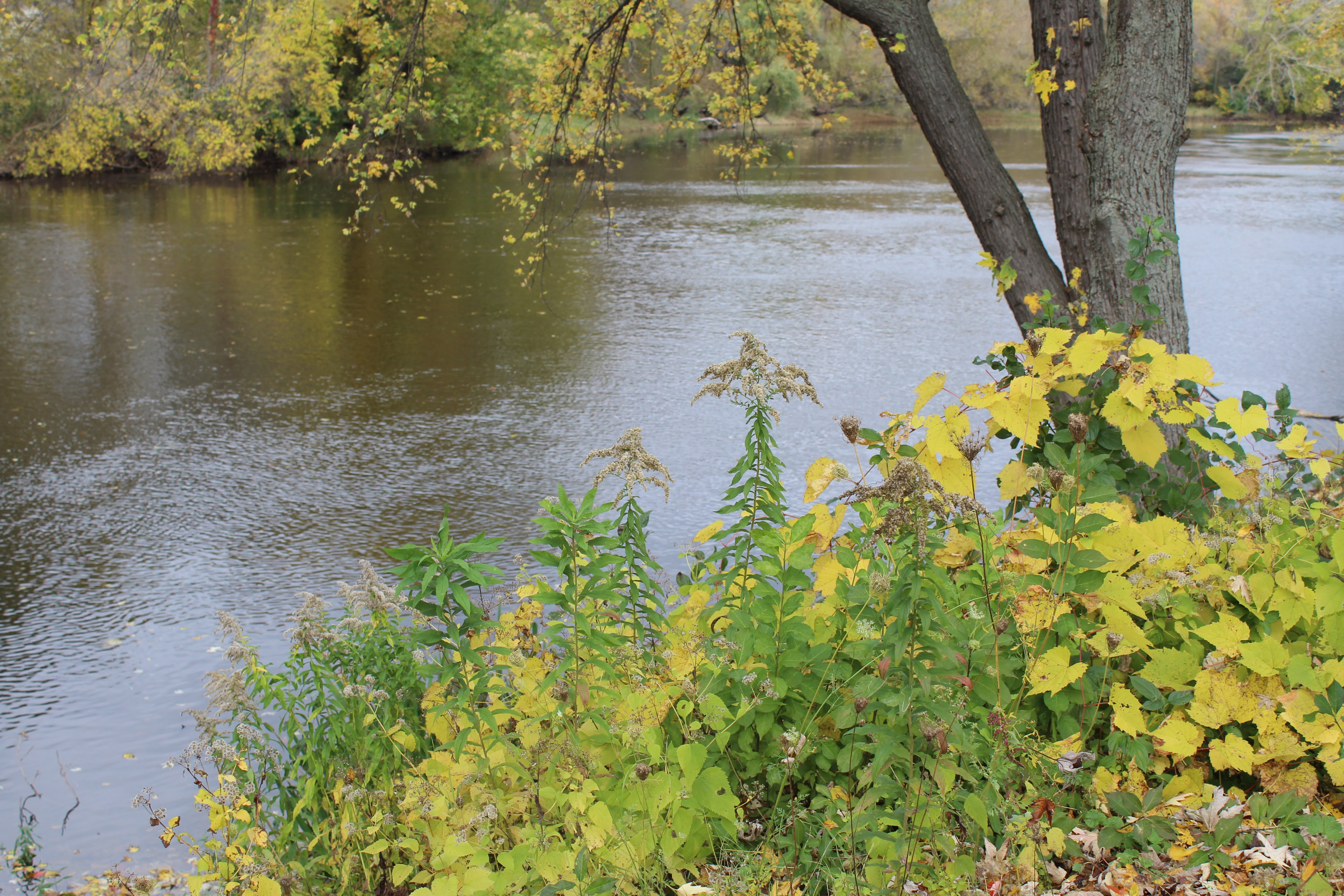 fall-2014-yellow-leaves-and-river