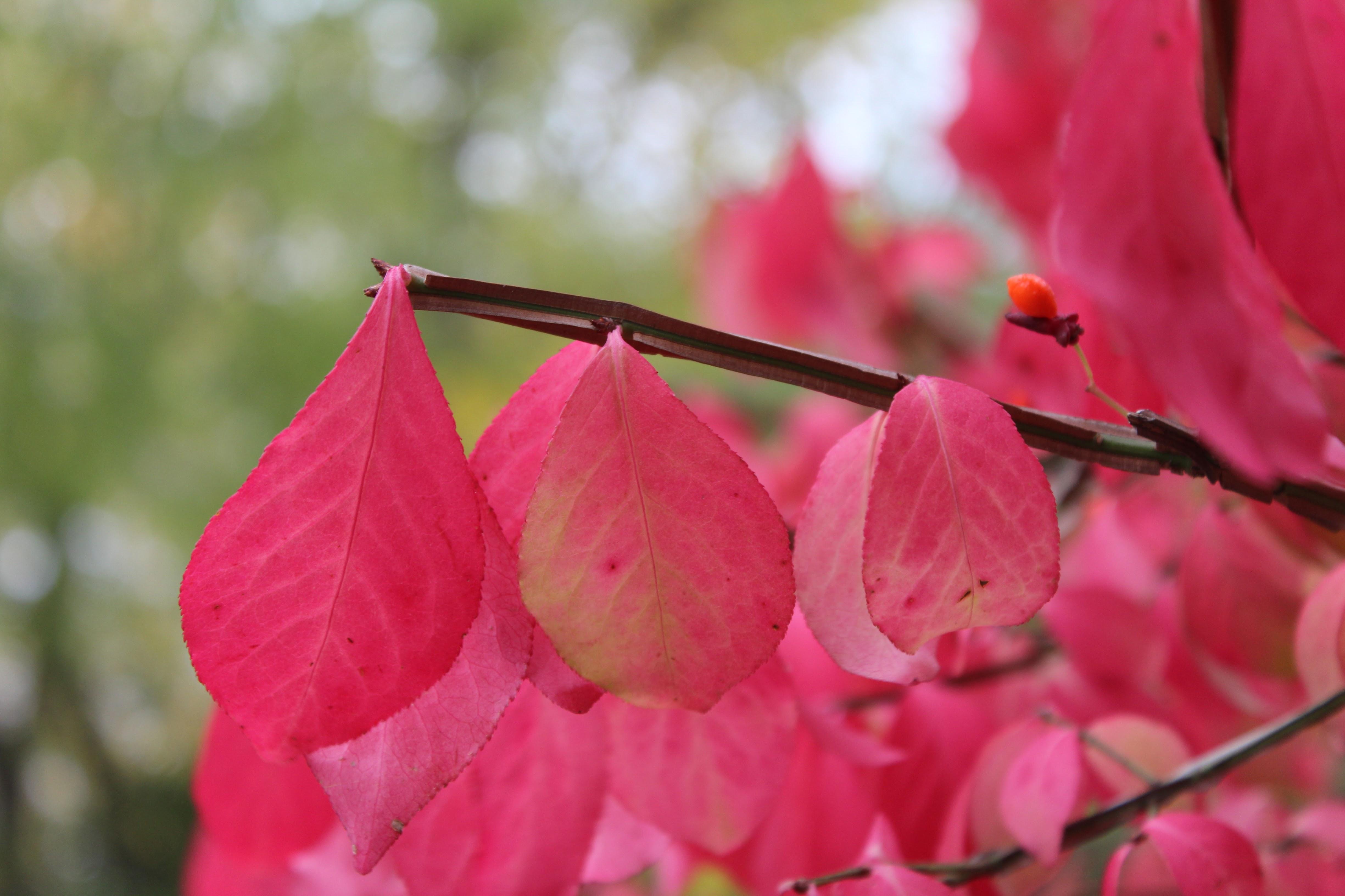 fall-2014_crimson-magentaleaves