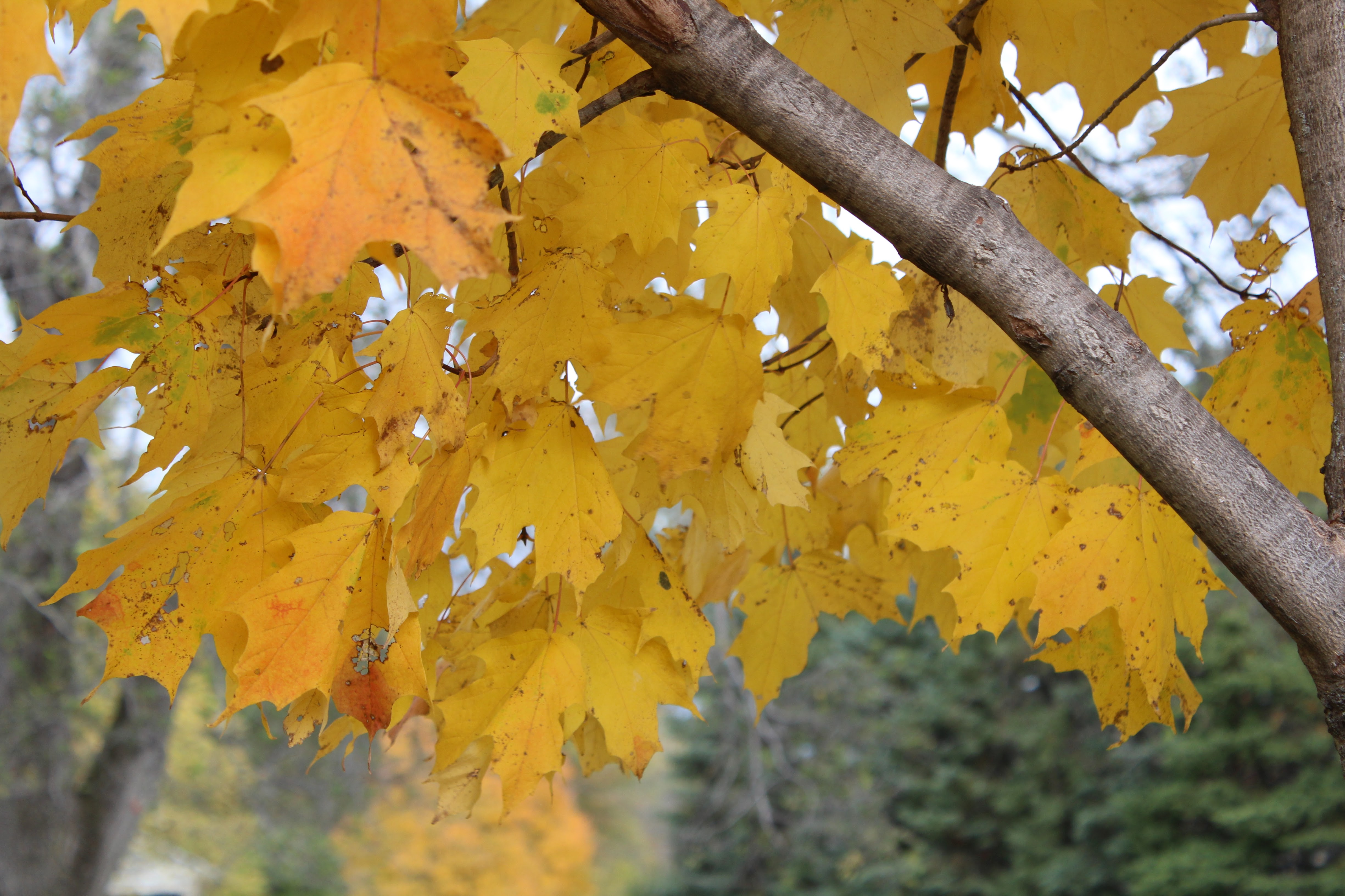 october-2014_autumn_yellow_leaves