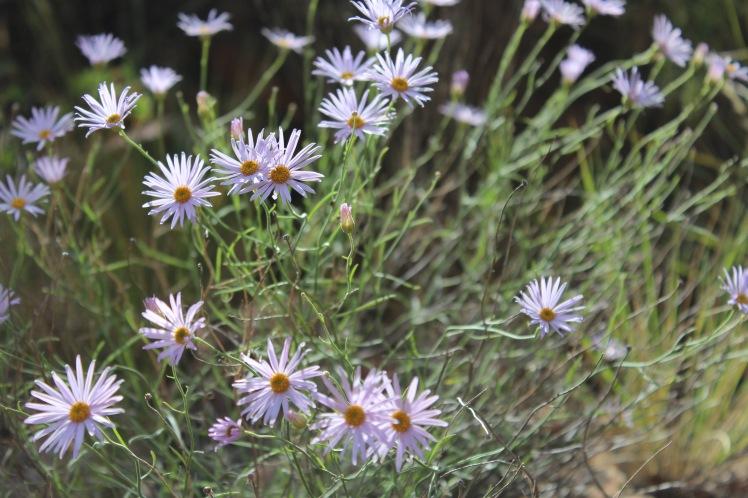 lavendar-flowers-zion