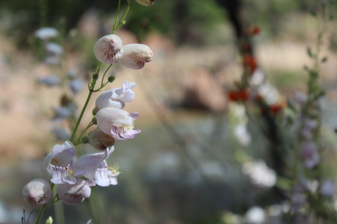white-lavendar-flowers-zion