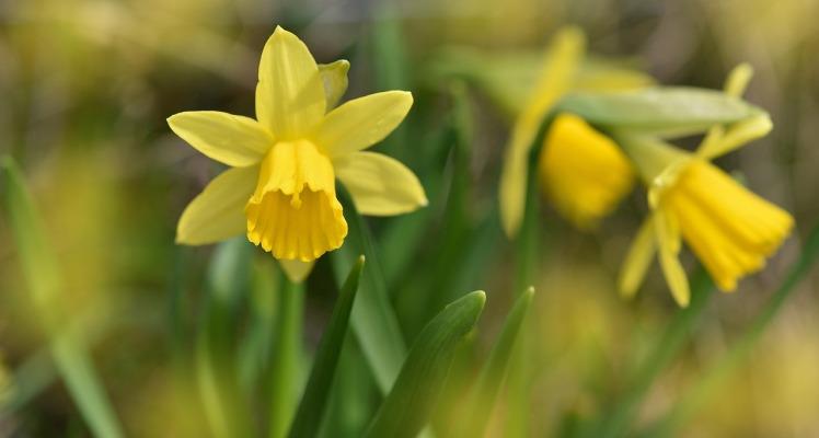 daffodils-719412_1280