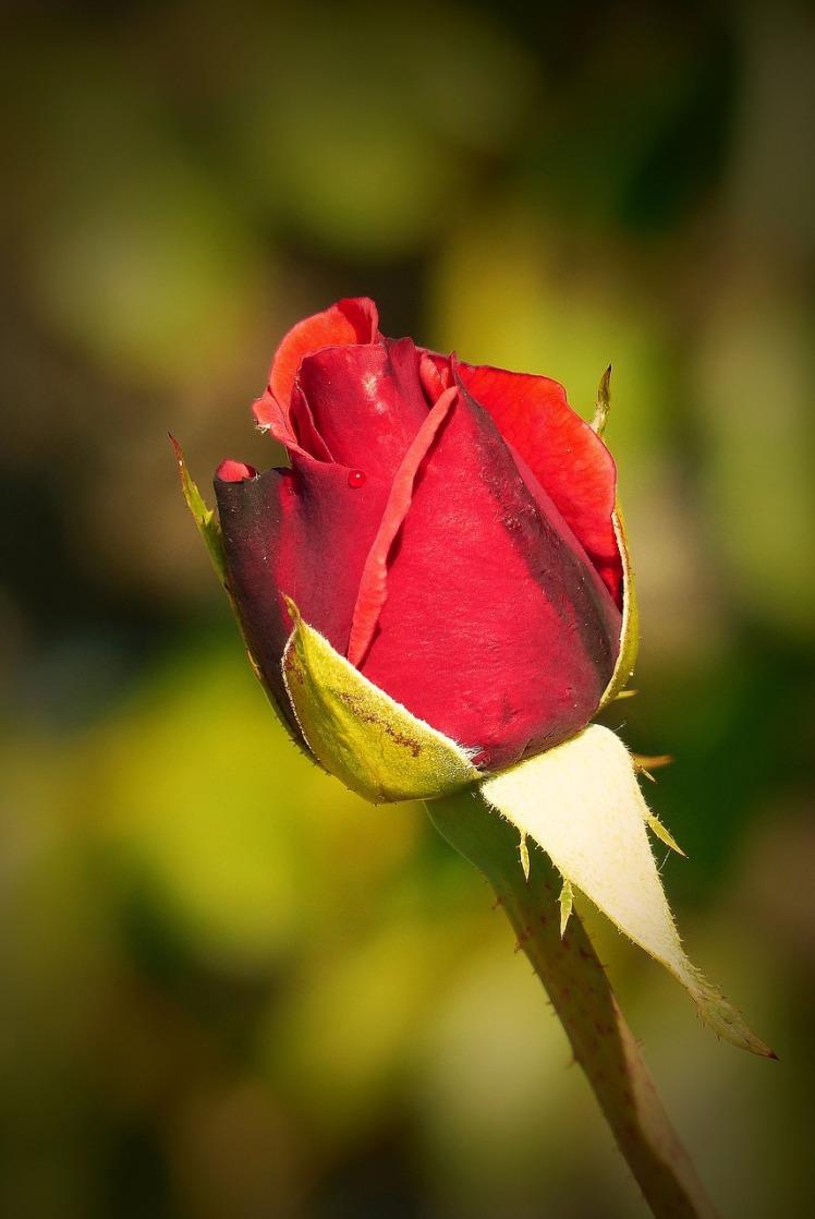 rose-1615862_1280