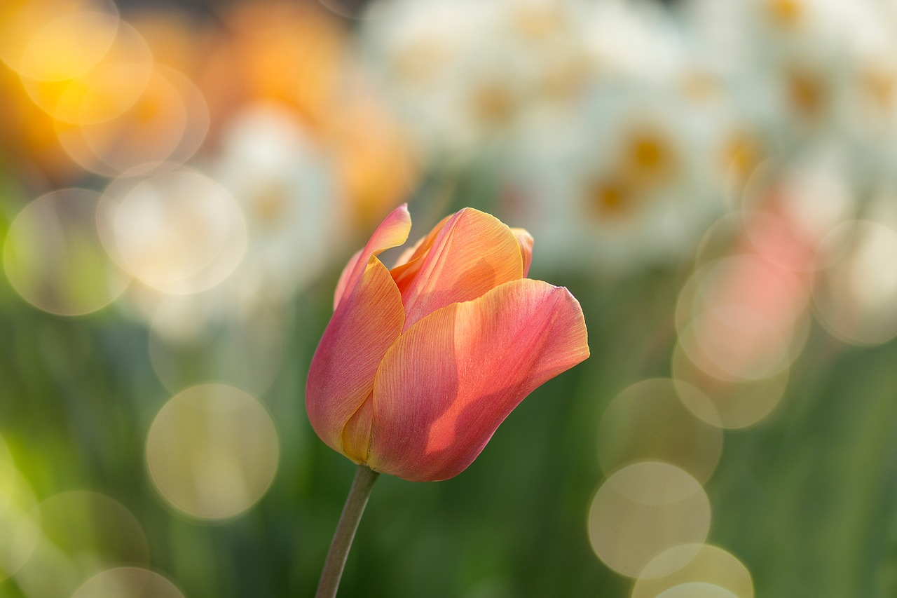 tulip-2189317_1280