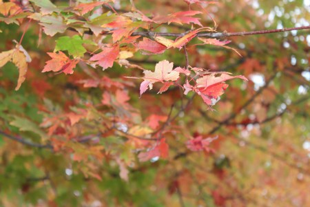 autumn leaves on tree_uncropped