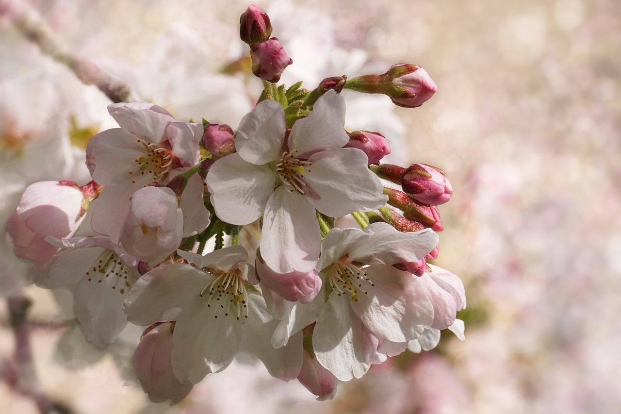 cherry-blossom-3291200_1280