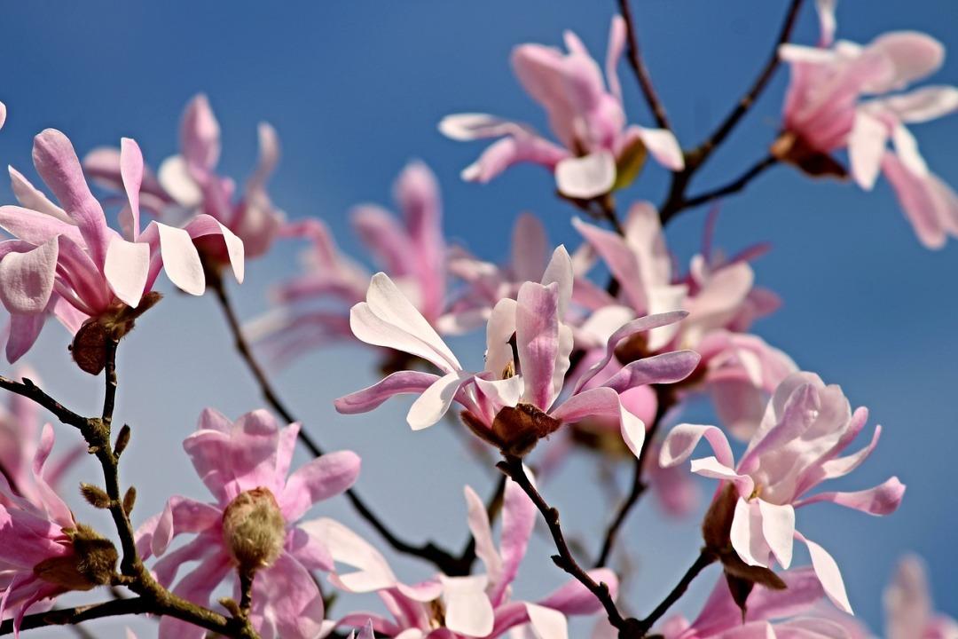magnolia-3311637_1280