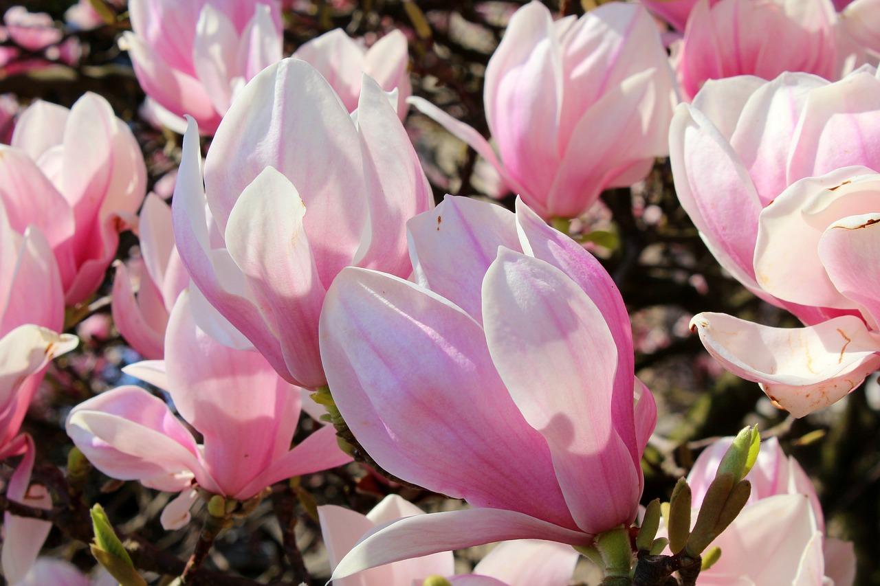 magnolia-3331210_1280