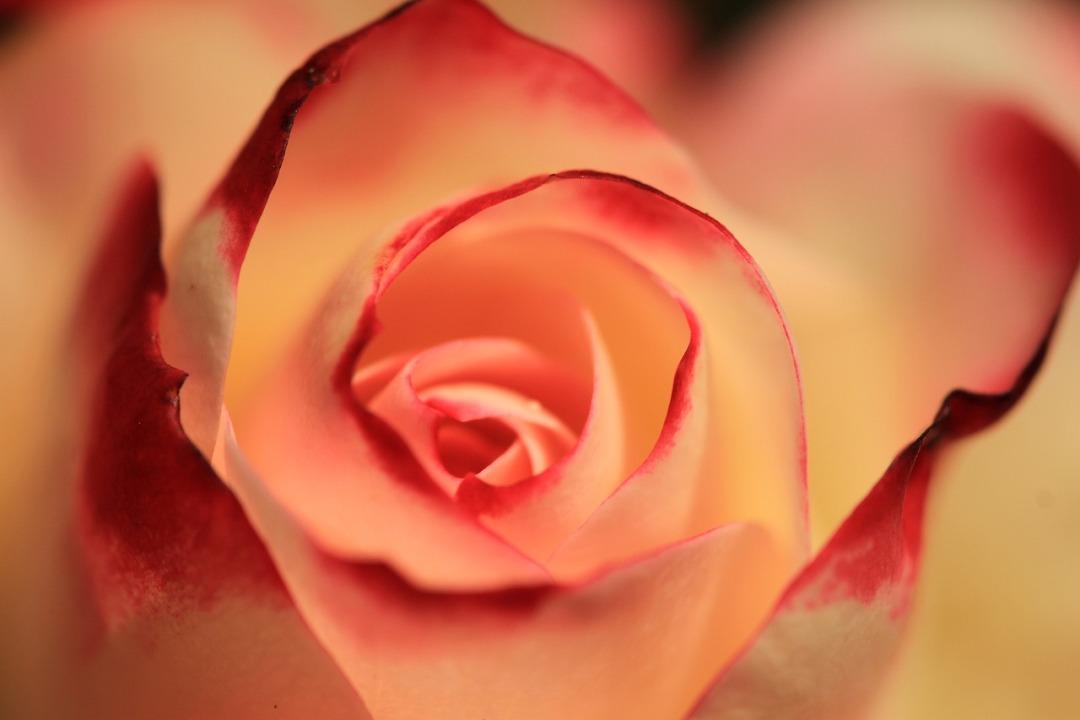 rose-2980163_1280