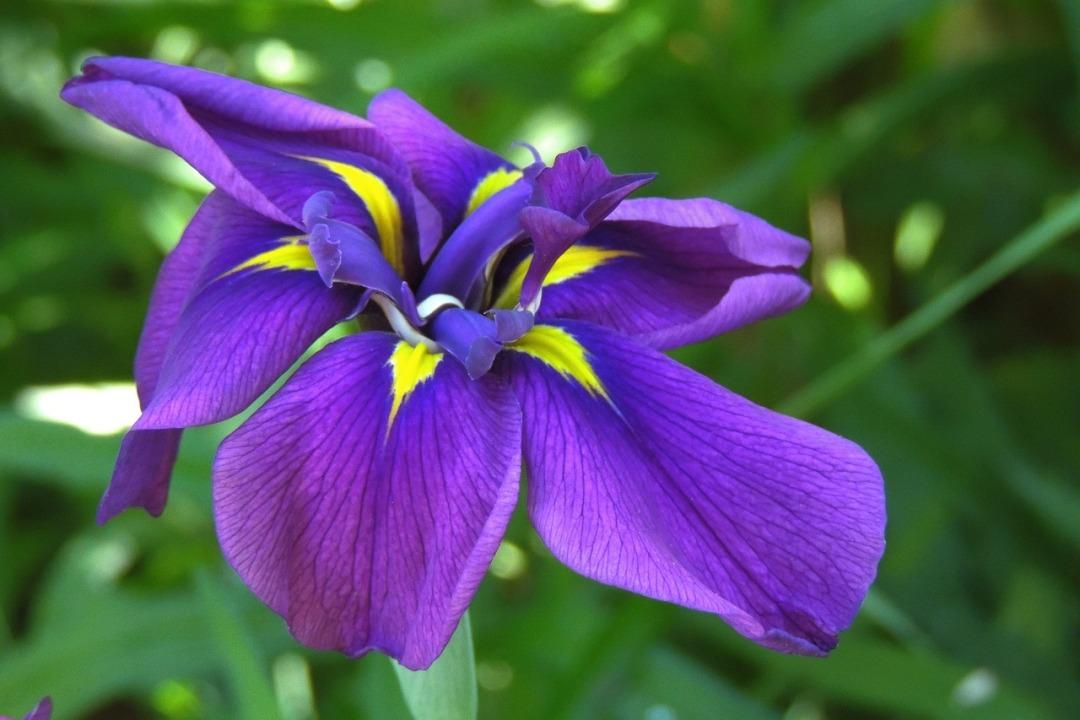 iris-2916348_1280