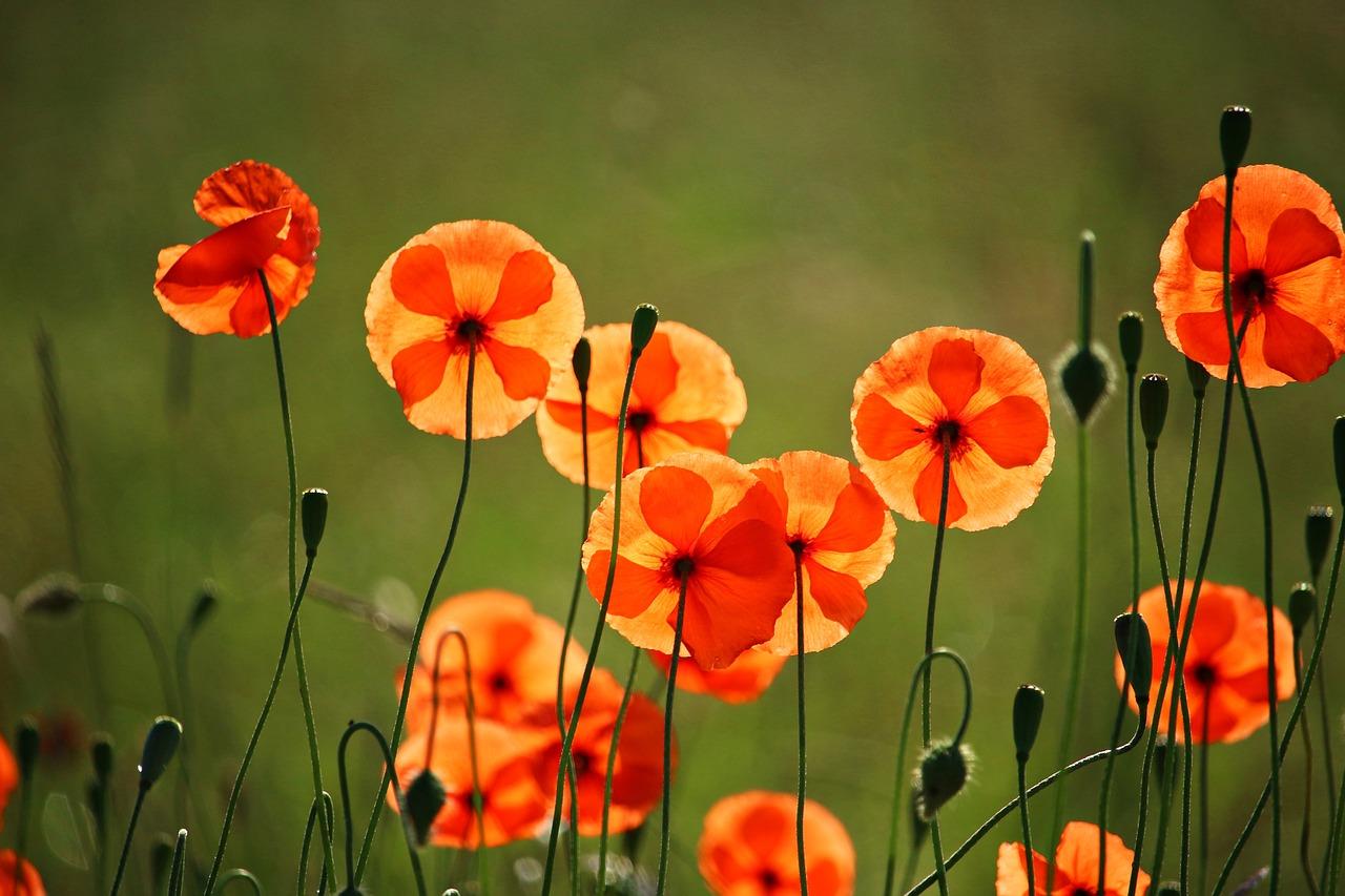 poppy-2408711_1280