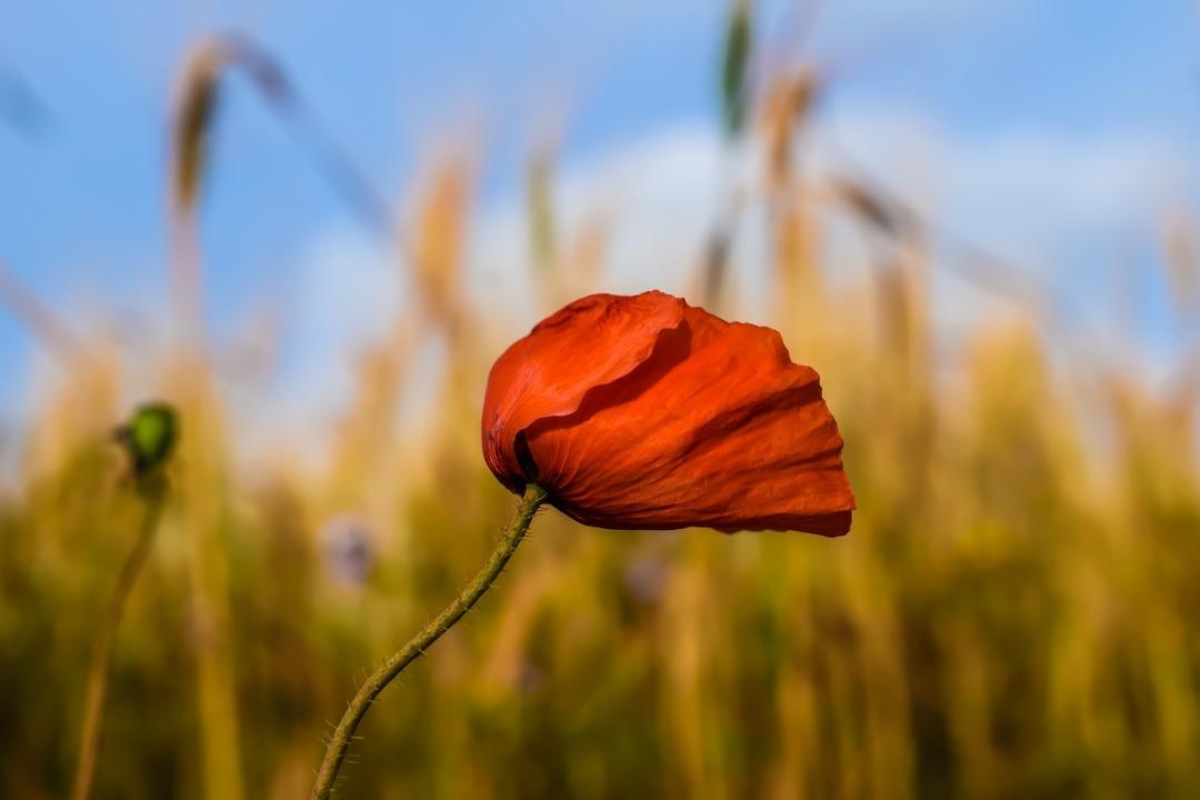 poppy-3223757_1280