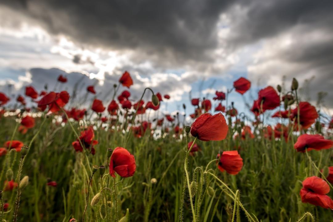 poppy-3405935_1280
