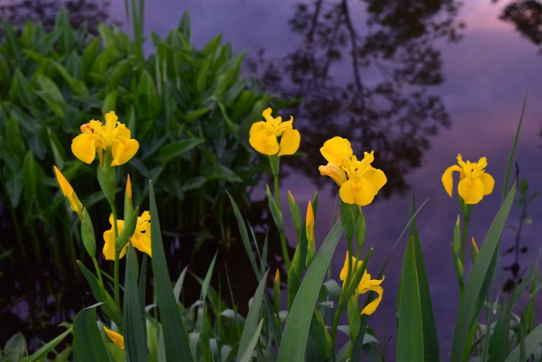yellow-irises-2352925_1280