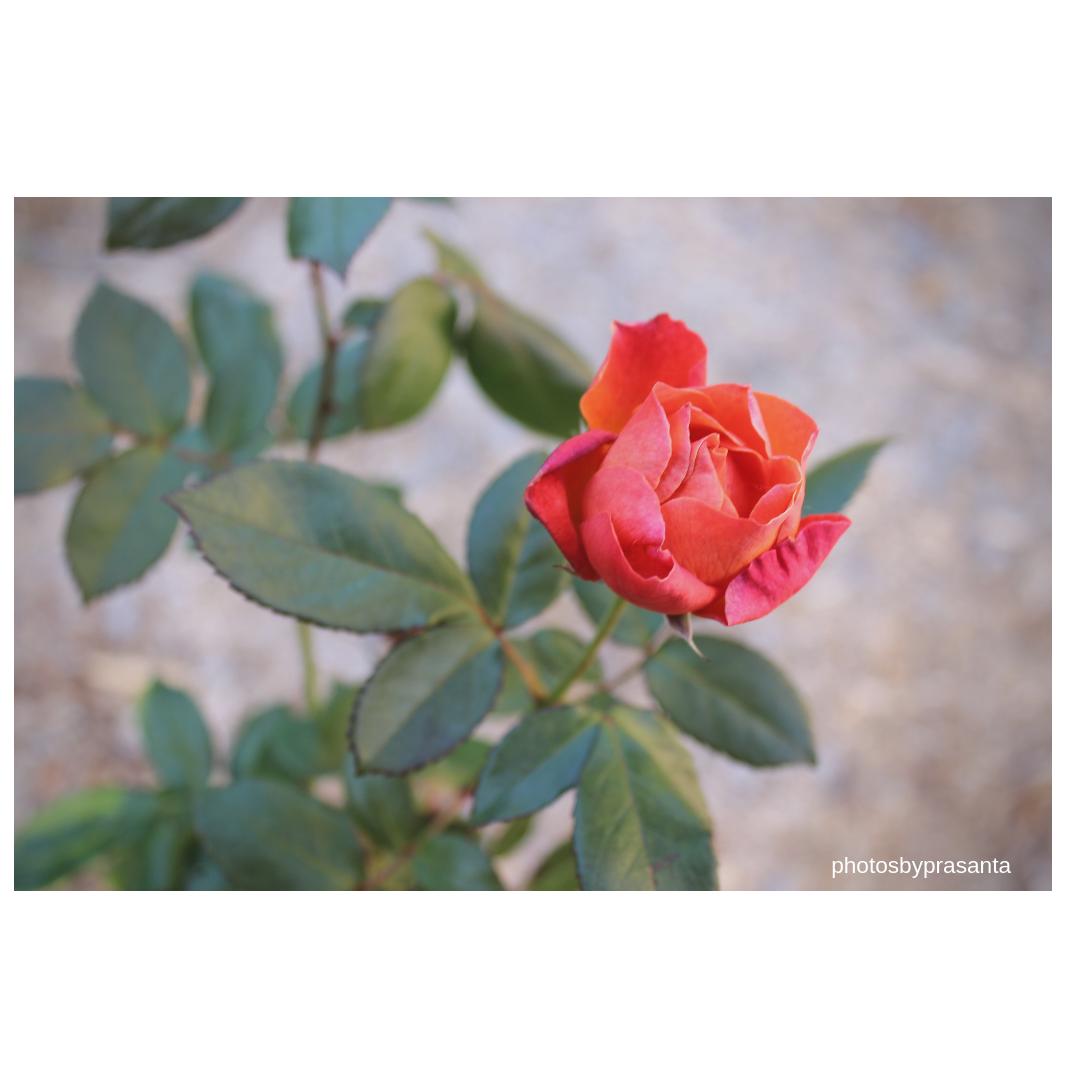 rose-watermark